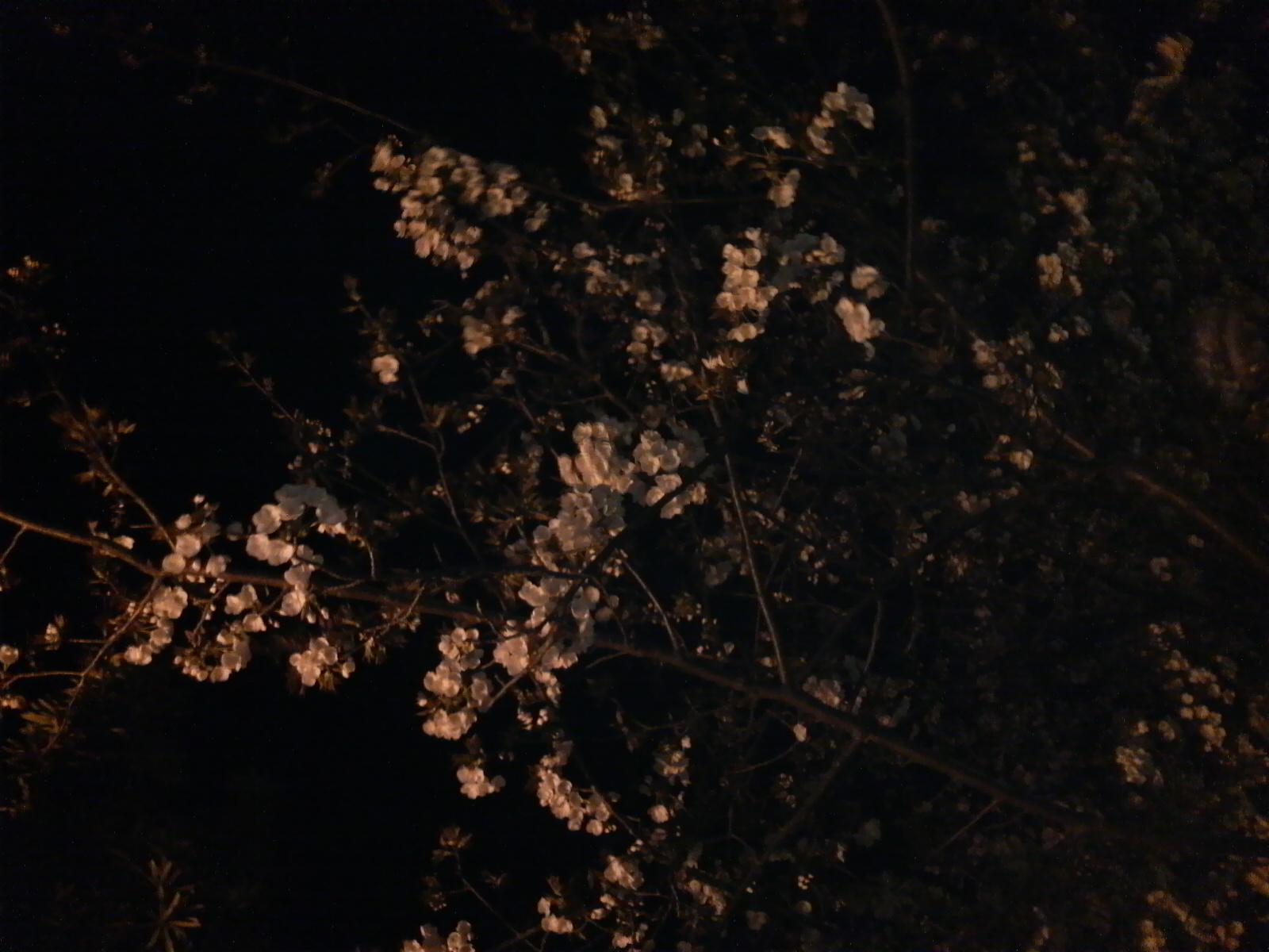 今年初、夜桜